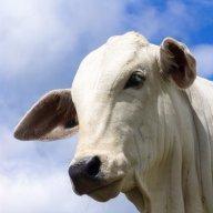 vaca2008